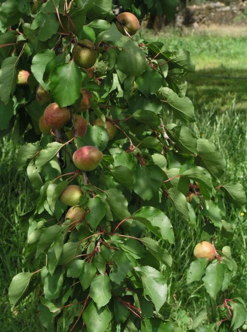 Aprikosenbaum Heilpflanzen Heilkräuter