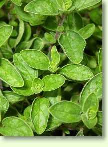 oregano origanum vulgare l heilpflanzen heilpflanzen heilkr uter. Black Bedroom Furniture Sets. Home Design Ideas