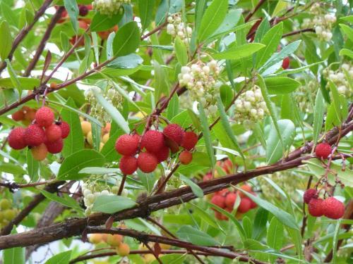 Erdbeer baum