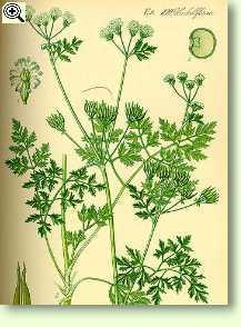 Gartenkerbel - kräuter, heilkräuter &; heilpflanzen