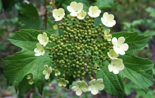 Schneeball Heilpflanzen Heilkräuter