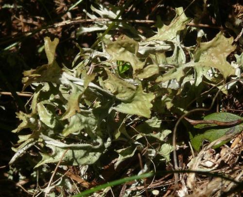 Isl ndisch moos heilpflanzen heilkr uter for Moos bilder pflanzen