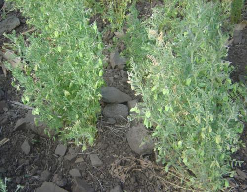 Linse, Heilpflanzen & Heilkräuter