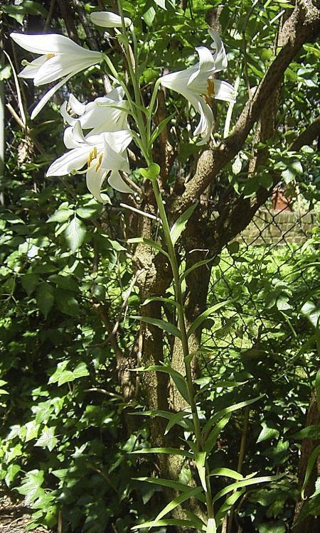 madonnenlilie heilpflanzen heilkr uter. Black Bedroom Furniture Sets. Home Design Ideas