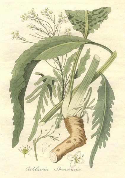 Meerrettich, Heilpflanzen & Heilkräuter