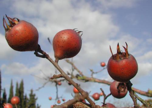 Erntereife Mispelfrucht nur noch in Österreich?