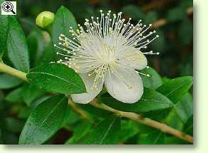 Myrte pflege pflanzenfreunde - Pflegeleichte zimmerpflanzen mit bluten ...