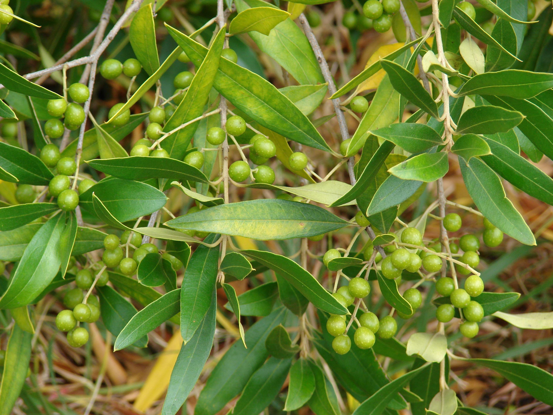 olivenbaum heilpflanzen heilkr uter. Black Bedroom Furniture Sets. Home Design Ideas