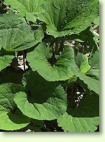 Pflanze Mit Großen Blättern pestwurz heilpflanzen heilkräuter