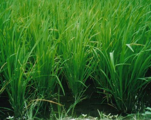 Reis heilpflanzen heilkr uter - Kann man reis in der mikrowelle kochen ...