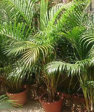 chrysalidocarpus pflege pflanzenfreunde. Black Bedroom Furniture Sets. Home Design Ideas