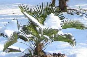palmenpflege im garten winterschutz pflanzenfreunde. Black Bedroom Furniture Sets. Home Design Ideas