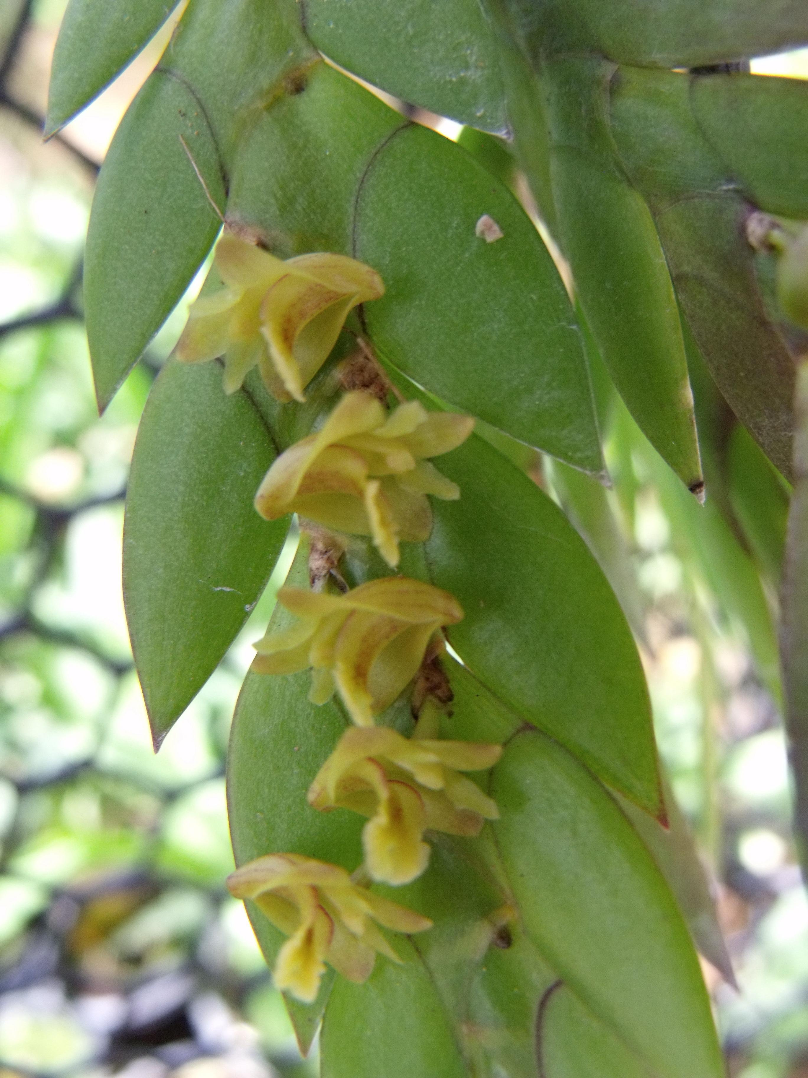http://www.pflanzenfreunde.com/orchideenalbum/dendrobium-keithii.jpg