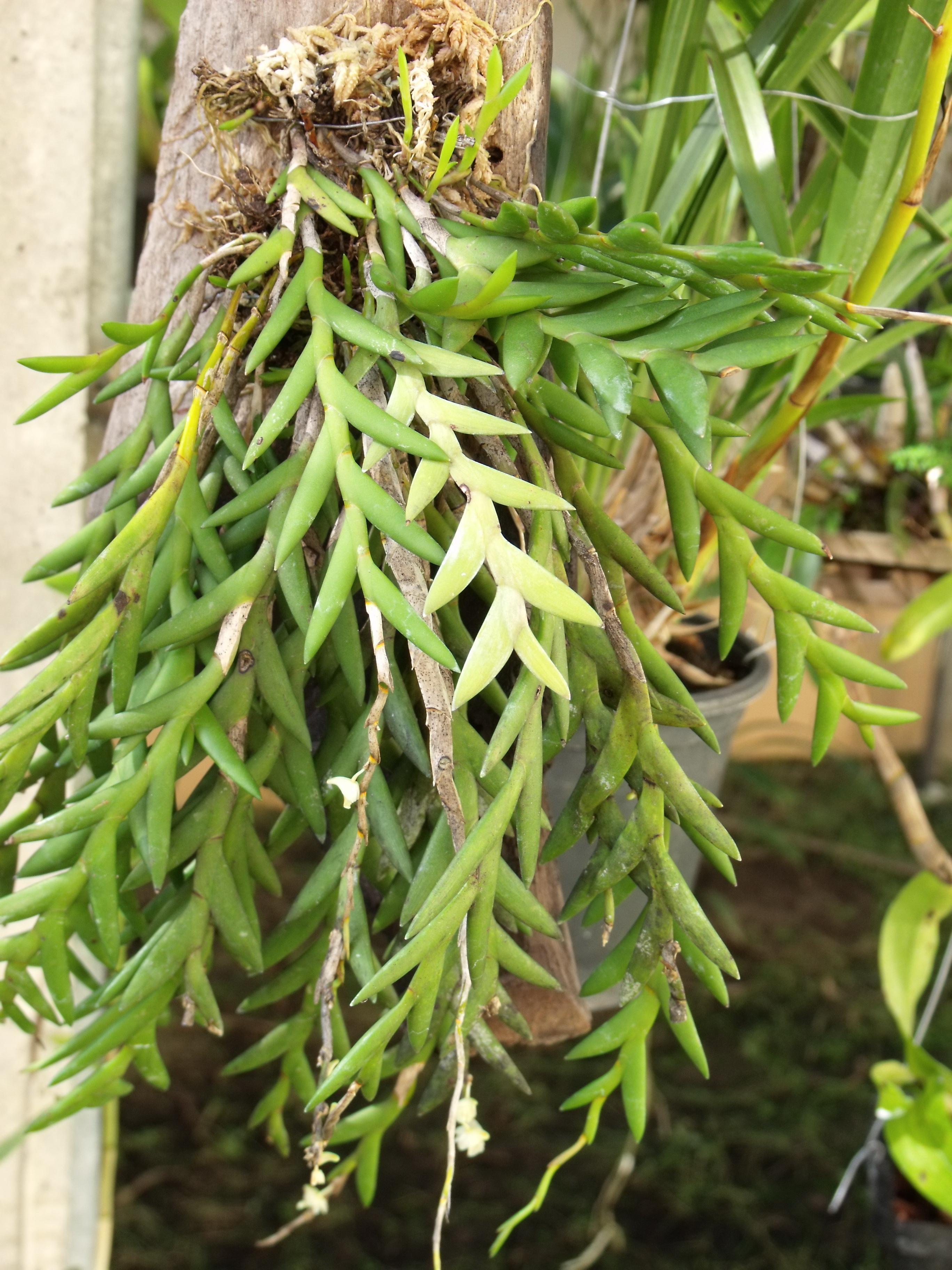 http://www.pflanzenfreunde.com/orchideenalbum/dendrobium-mannii-1.jpg