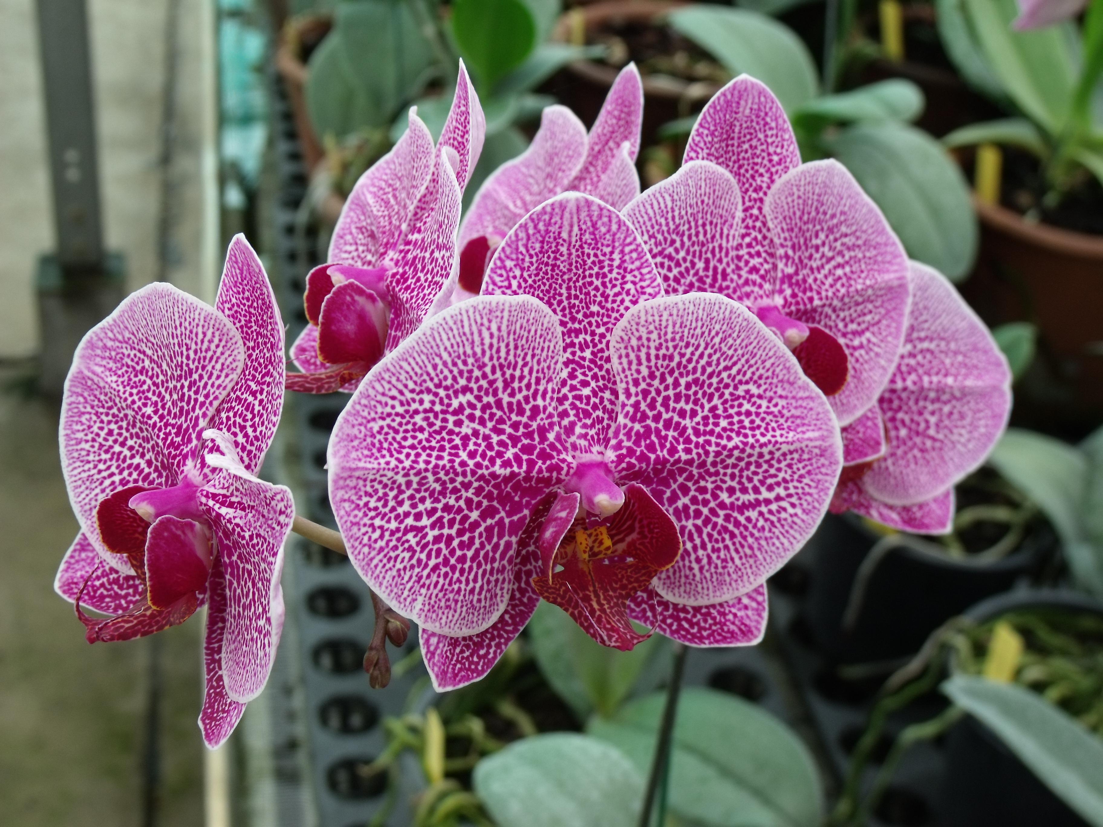 orchideenbilder seite 8 auf pflanzenfreunde. Black Bedroom Furniture Sets. Home Design Ideas