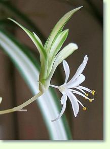chlorophytum pflanzen f r blumenampeln pflanzenfreunde. Black Bedroom Furniture Sets. Home Design Ideas