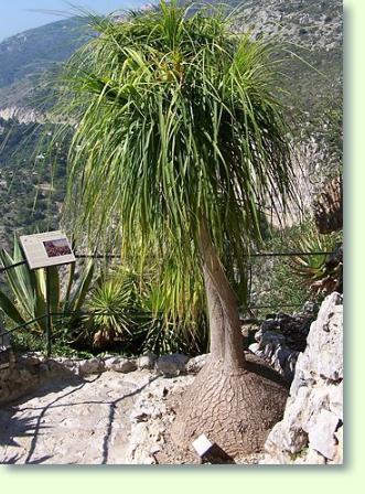 Flaschenbaum Pflege Pflanzenfreunde