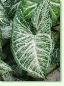 Buntblatt pflege pflanzenfreunde - Zimmerpflanze sonnig ...