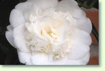 camellia pflege pflanzenfreunde. Black Bedroom Furniture Sets. Home Design Ideas