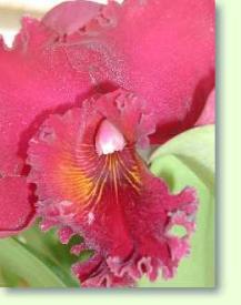 orchideen cattleya chia lin im pflanzenlexikon zimmerpflanzen pflege. Black Bedroom Furniture Sets. Home Design Ideas