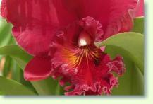 orchideen cattleya im pflanzenlexikon zimmerpflanzen pflege. Black Bedroom Furniture Sets. Home Design Ideas