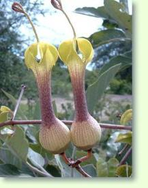 Ceropegia rhynchantha