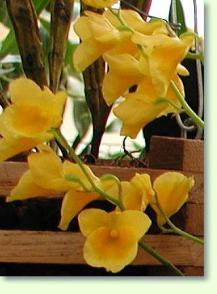 dendrobium capilippes pflege pflanzenfreunde. Black Bedroom Furniture Sets. Home Design Ideas