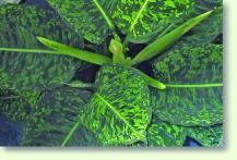 dieffenbachia f r dunkle standorte geeignet pflanzenfreunde. Black Bedroom Furniture Sets. Home Design Ideas