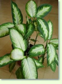 zimmerpflanzen mit ablegern vermehren pflanzenfreunde. Black Bedroom Furniture Sets. Home Design Ideas