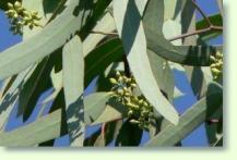 eukalyptus pflege pflanzenfreunde. Black Bedroom Furniture Sets. Home Design Ideas