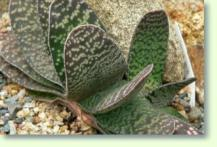 Gasterien (Gasteria pillansii var pillansii)