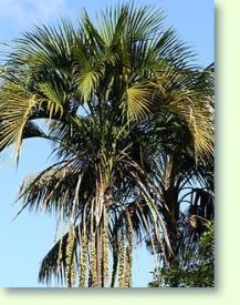 kentia palmen pflege pflanzenfreunde. Black Bedroom Furniture Sets. Home Design Ideas
