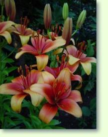 Lilien Pflege Pflanzenfreunde