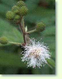 mimose mimosa pudica pflege pflanzenfreunde. Black Bedroom Furniture Sets. Home Design Ideas