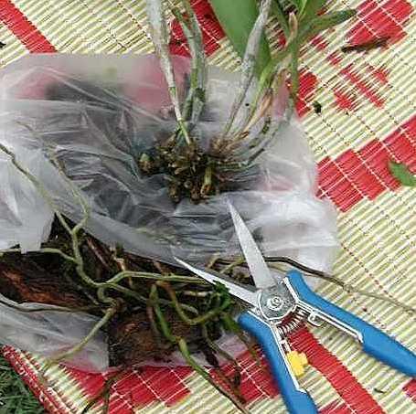 schneiden der wurzeln einer orchidee pflanzenfreunde. Black Bedroom Furniture Sets. Home Design Ideas