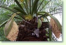 phoenix palmen erfolgreich pflegen pflanzenfreunde. Black Bedroom Furniture Sets. Home Design Ideas