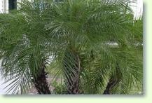 palmen vermehren und umtopfen pflanzenfreunde. Black Bedroom Furniture Sets. Home Design Ideas