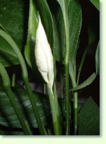 Spathiphyllum pflege