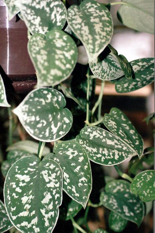 scindapsus topf und zimmerpflanzen richtig pflegen pflanzenfreunde. Black Bedroom Furniture Sets. Home Design Ideas