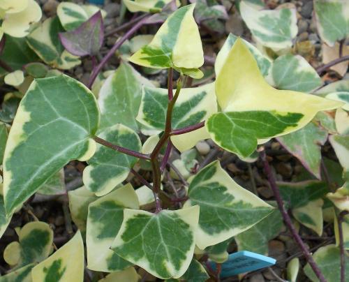 senecio macroglossus zimmerpflanzen richtig pflegen pflanzenfreunde. Black Bedroom Furniture Sets. Home Design Ideas