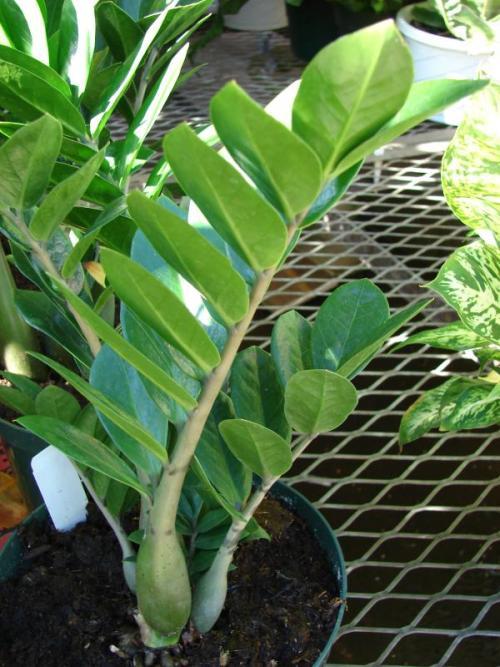 Zamioculcas zamiifolia pflanzenfreunde for Fliegen in der erde von zimmerpflanzen