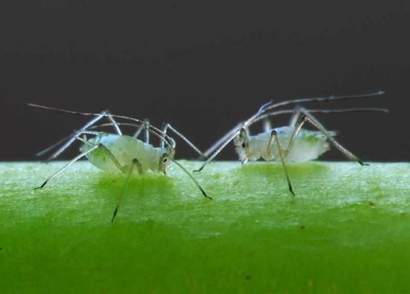 Blattl use bek mpfen pflanzenfreunde for Fliegen in der erde von zimmerpflanzen