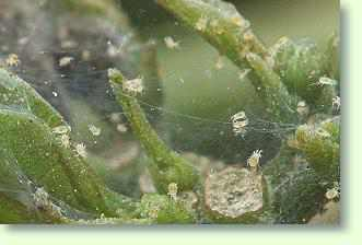 Spinnmilben Bekämpfen Pflanzenfreunde